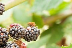 爬行在黑莓群的棕色盾臭虫的宏观图象 库存图片