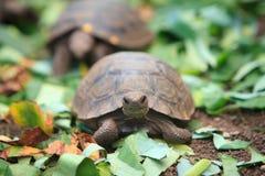 爬行小的小的乌龟,加拉帕戈斯 免版税图库摄影