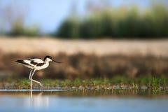 爬行染色的长嘴上弯的长脚鸟  免版税库存照片