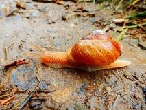 爬行横跨岩石的明亮的橙色蜗牛 库存图片