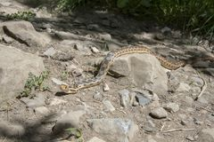 爬行横跨岩石的穴蛇 图库摄影