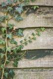 爬行横跨庭院篱芭的绿色常春藤植物 免版税库存照片