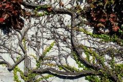 爬行横跨老灰色石头的美丽的常春藤 库存照片