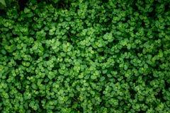 爬行毡片形常绿香草Soleirolii绿色叶子在植物园里 自然 库存图片