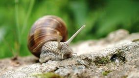 爬行沿大石头的葡萄蜗牛 股票视频