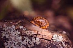 爬行沿道路的葡萄蜗牛在有日落的庭院里 免版税库存照片