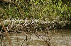 爬行爬山虎属quinquefolia植物占领树枝 图库摄影