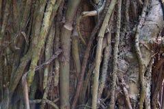 爬行物纠缠一棵热带树的厚实的树干 免版税库存图片