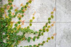 爬行物绿色植物墙壁 库存图片