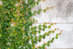 爬行物绿色植物墙壁 免版税图库摄影