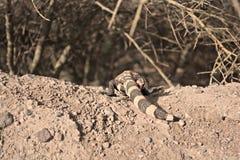 爬行的大毒蜥怪物的后面 库存图片
