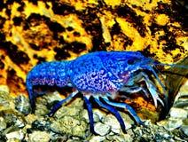 爬行的小龙虾 免版税库存照片