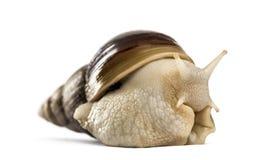 爬行的巨型非洲蜗牛 免版税库存照片