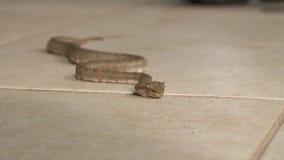 爬行的睫毛蛇蝎,哥斯达黎加动物园 股票视频