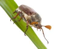 爬行的臭虫可以 免版税图库摄影