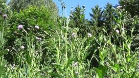 爬行的蓟或桃红色母猪蓟 Bloosoming Cirsium arvense全景行动照相机录影镜头 影视素材