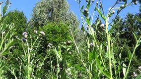 爬行的蓟或桃红色母猪蓟 Bloosoming Cirsium arvense录影镜头行动照相机 影视素材