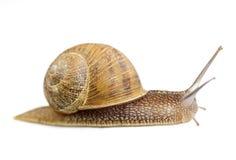 爬行的蜗牛 免版税图库摄影