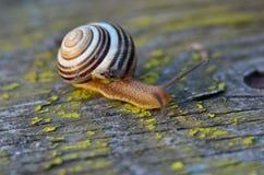爬行的蜗牛 库存照片