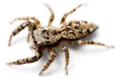 爬行的蜘蛛顶视图 库存照片