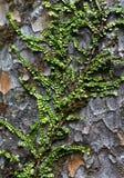 爬行的贝壳杉工厂结构树 免版税图库摄影
