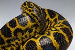 爬行的黄色黑水蟒 库存图片