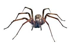 爬行蜘蛛 免版税库存图片