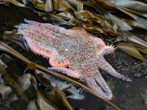 爬行通过海带的向日葵星 免版税库存照片