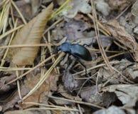 爬行黑甲虫 免版税库存图片