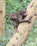 爬黄色咆哮的金合欢树的婴孩橄榄色的狒狒 免版税库存照片