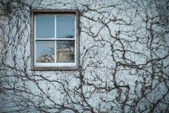 爱丁堡庭院窗口光秃的常春藤 免版税库存图片
