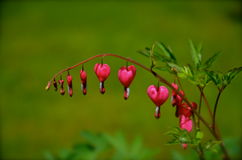 爱和浪漫史的心脏出血 库存图片