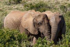 爱在与这两头大象的天空中 库存图片