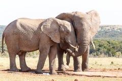 爱在空的非洲人布什大象 库存照片
