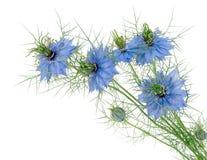 爱在雾中- Nigella damascena 蓝色花查出 免版税图库摄影
