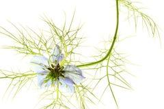 爱在雾中(Nigella damascena) 库存照片