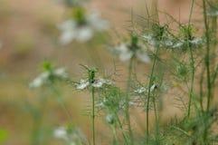 爱在雾中Nigella damascena花 免版税图库摄影