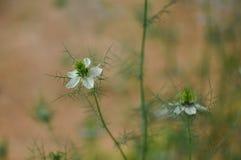 爱在雾中Nigella damascena花 免版税库存图片