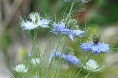 爱在雾中Nigella damascena蓝色花 库存照片