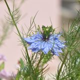 爱在雾中Nigella damascena蓝色花 库存图片