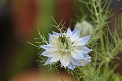 爱在雾中Nigella damascena蓝色花 免版税库存图片