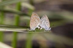 爱夫妇蝴蝶,联接对蝴蝶,关闭  巴厘岛印度尼西亚 免版税库存图片
