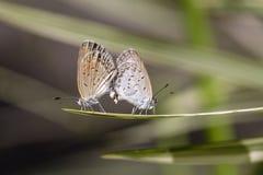 爱夫妇蝴蝶,联接对蝴蝶,关闭  巴厘岛印度尼西亚 图库摄影