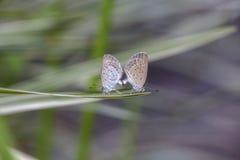 爱夫妇蝴蝶,联接对蝴蝶,关闭  巴厘岛印度尼西亚 库存图片