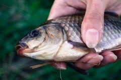 爱好渔在人的手上捉住了一个鲤鱼 库存照片