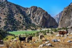 爱好者山和石山羊的鲜绿色湖 库存照片