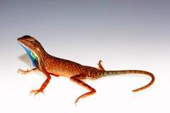 爱好者红喉刺莺的蜥蜴, Sarada darwini,戈尔哈布尔,印度 免版税图库摄影