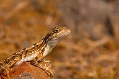 爱好者红喉刺莺的蜥蜴, Sitana laticeps,戈尔哈布尔,印度 库存照片