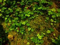 爱尔兰三叶草 免版税库存照片
