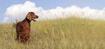 爱尔兰人的特定装置狗横幅 图库摄影